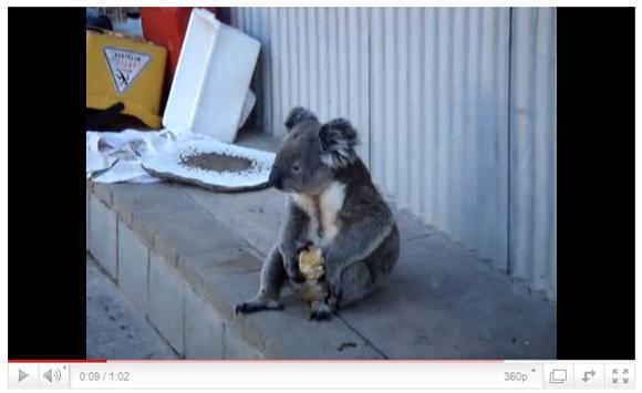 ひとりメシ状態のコアラが切なすぎると話題に