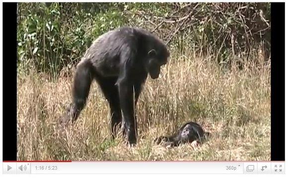 子どもの死に直面する母親チンパンジー、その姿があまりに切ない