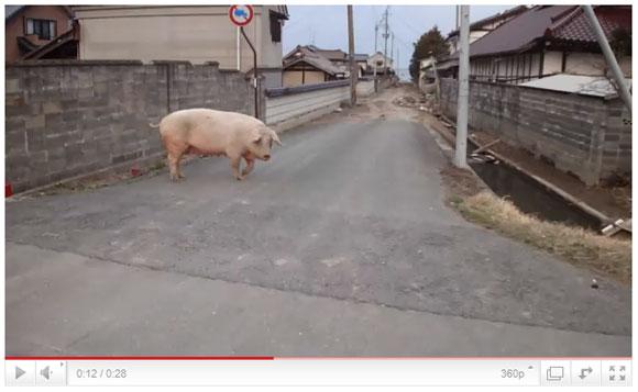 福島県南相馬市の被災地映像 / 豚や牛は放し飼い状態