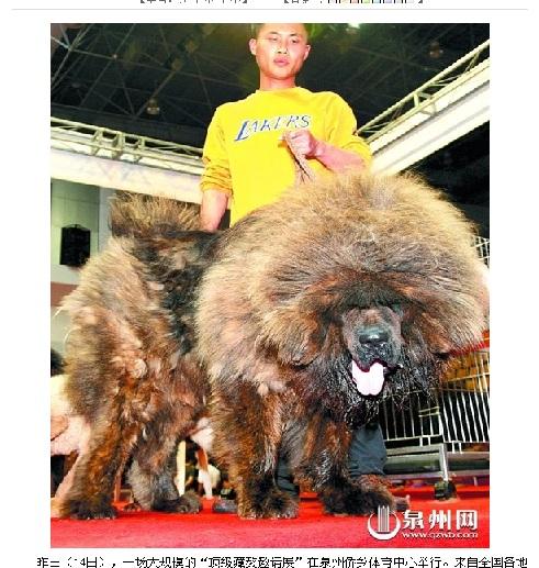 まるでライオン! 地球上でもっとも価格が高い犬が登場