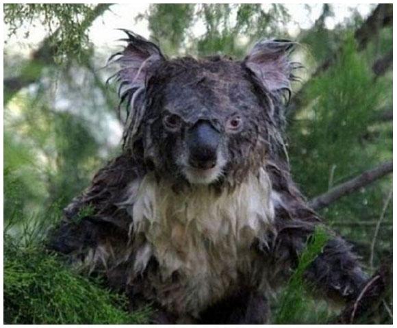 濡れたコアラはド迫力! 動物たちのズブ濡れ写真