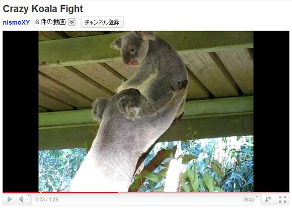 コアラ同士のケンカがメチャ怖い / 触れた瞬間マジギレ
