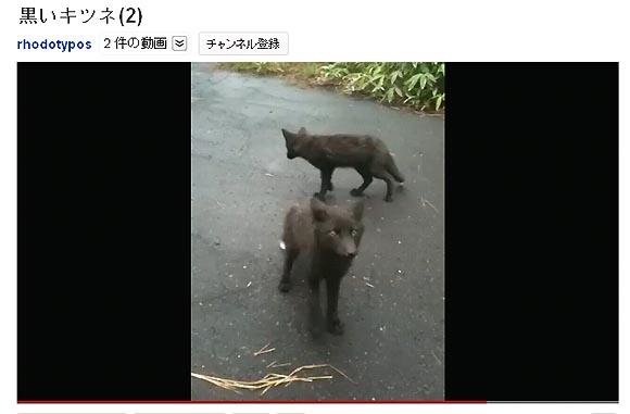 北海道で黒いキツネが発見される