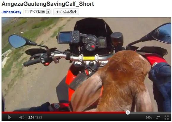 まさにヒーロー! 困っている子牛を助けてあげた心優しきライダーの動画に世界がほっこり感動