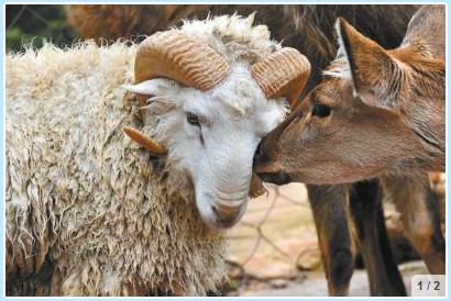 動物版「ロミオとジュリエット」、羊と鹿が恋に落ちてしまった