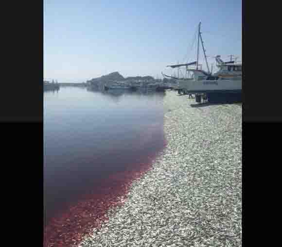 千葉県大原漁港に大量のイワシが打ち上げられる! 地元の人「港はイワシで一杯。すごい臭いがしてる」