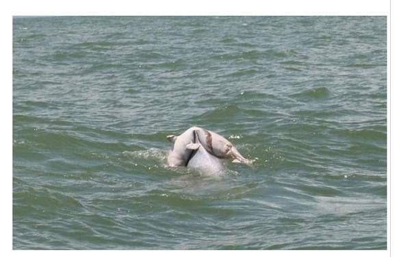 「おうちに帰ろう」……死んだ子イルカを背中に乗せ海へ帰るイルカに感動の声