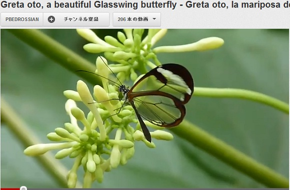 まるで宝石のよう! ガラスのような透明の羽を持つ蝶「グラス・ウィング・バタフライ」
