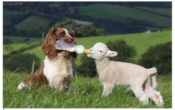 これは微笑ましい! ママのいない赤ちゃん羊に哺乳瓶でミルクあげるワンコ