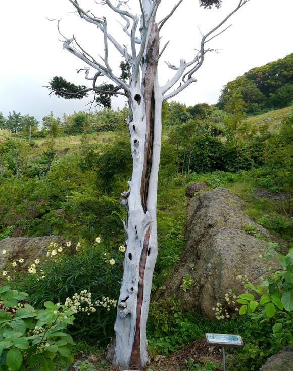 【韓国旅日記 ウルルンド編その4】樹齢1200年と伝えられる木がショボくて笑った(笑)