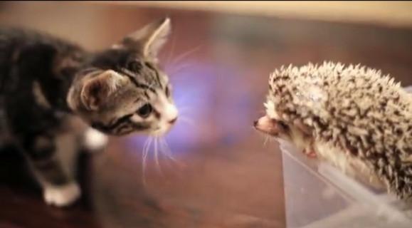 ちょっとジレンマ? 赤ちゃんニャンコがハリネズミと出会うとこうなる