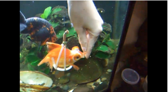 尾ひれを持たず泳げない金魚に飼い主が補助具を制作! 小さな命に差し伸べられた愛に全米が感動