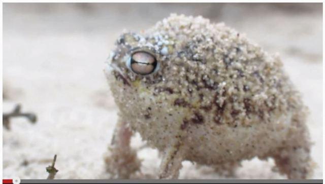 なんだこのキュートな鳴き声は! 南アフリカで撮影されたカエルが史上最強に可愛いと話題に!!