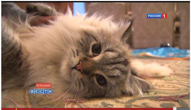 ロシアから秋田に贈られ話題沸騰中のシベリア猫「ミールくん」が動画で見ると想像以上にモフモフしていた件