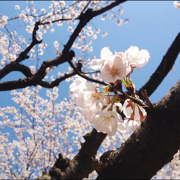 【桜の起源】中国専門家「日本の桜は中国から伝わったもの」