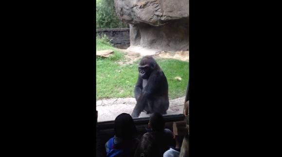 「ゴリラを舐めてかかるとこうなる」という動画 / 激おこゴリラの堪忍袋の緒が切れる瞬間がスゴイ!