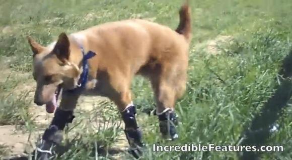 【感動動画】凍傷で4本の足を失った捨て犬が「世界初の4本義足」を手に入れ奇跡の復活!