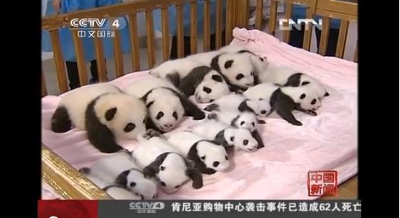 【萌えキュン動物】キュン死注意!! ズラっと並んだ14頭の赤ちゃんパンダがハチャメチャにカワエエ~!