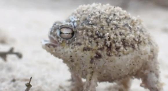 【衝撃動画】完全に予想外の鳴き方をするカエル