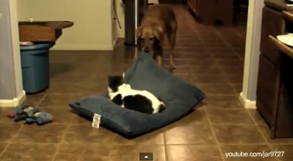 ワンコ vs ニャンコ! ひとつのベッドを巡って勃発した熾烈な争い映像集