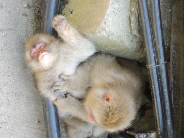檻が一切ないニホンザルの動物園「地獄谷野猿公苑」がスゴイ! 冬は温泉につかるサルが観察できるかも!?