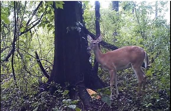 【衝撃映像】鹿の放屁シーンが全世界で大拡散 / 海外の声「神よ! こんなに攻撃的なオナラをお作りになるとは」