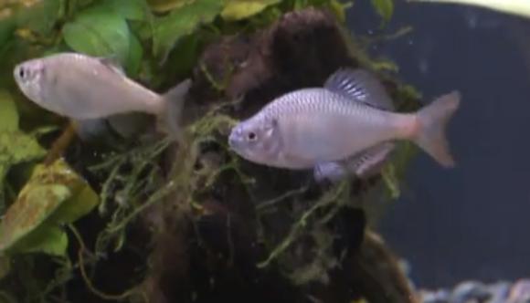 男性が絶滅危惧種の天然記念物「ミヤコタナゴ」を大量繁殖させることに成功 / ネットで激賞されるものの淡水魚マニアは「ちょっと待て!」