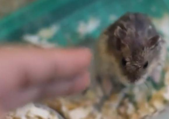 【衝撃動物動画】死んだふりをする5匹のハムスターが激カワ!! ネットの声「なんてイカしてるんだ!」