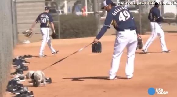 【感動野球動画】車にはねられた仔犬がメジャーリーグ球団へ正式に入団したことが話題