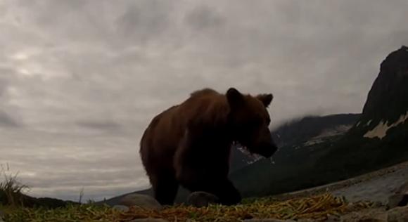 【マジかよ】隠し小型カメラで熊の超接近映像撮影に成功 → 熊が小型カメラを発見 → そのままガブリ!