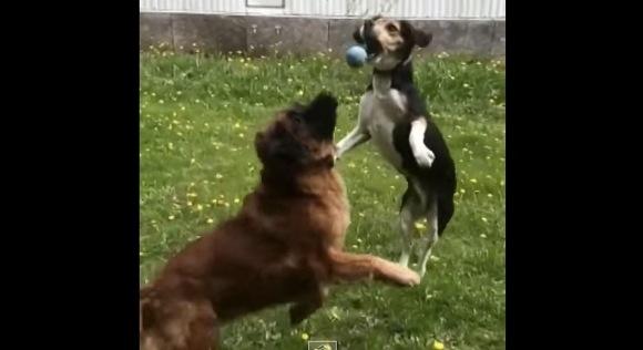 【衝撃ワンコ動画】ボールをキャッチしようと必死な犬2匹のグダグダさ加減が悶絶ものの可愛さ