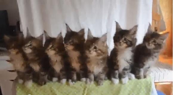 【ニャンコ動画】シンクロ率100%! 一糸乱れぬ7匹の子猫たちの動きに悶絶必至ニャ!!