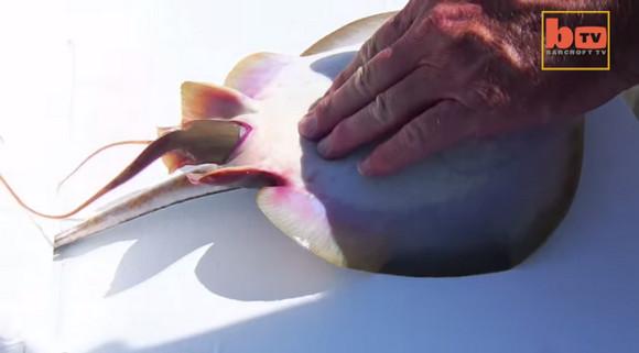 【貴重映像】何が起こった!? 釣ったエイをさばこうとしたら赤ちゃんを産んだ / 魚って卵で産むんじゃなかったの?