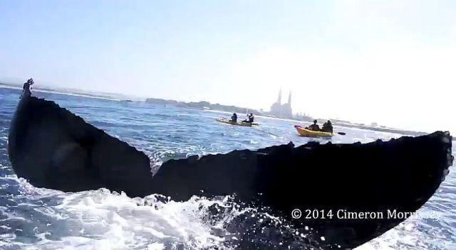 カヤッカーがクジラとウルトラ接近遭遇! クジラの尻尾とハイタッチ寸前の動画が大迫力すぎる!!