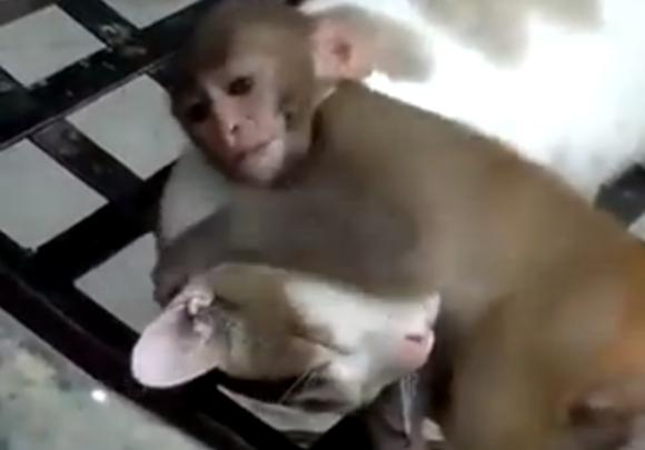【ガチンコ対決動画】どうしても寝たいネコ vs 絶対に寝させようとしないサル / サルは眠ろうとするネコを起こして一緒に遊ぶことができるのか?