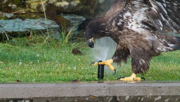 【胸キュン動画】鳥の王者にもカワイイ面はあるのだ! スプリンクラーと無邪気に戯れるワシの子どもの巻