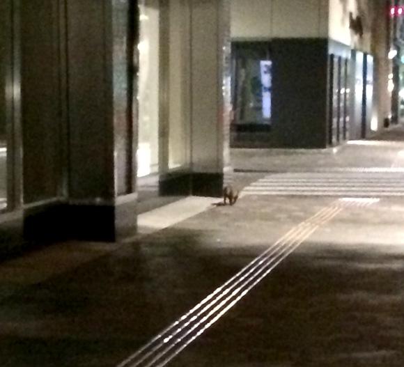 【iPhone6行列】信じられないかもしれないけど東京・丸の内でタヌキを目撃した!