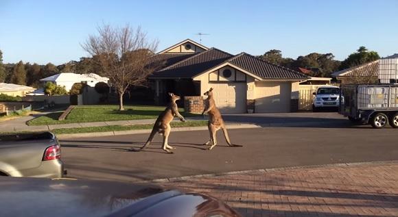 「自宅前でカンガルーがタイマン張ってて家から出られないので遅刻します」っていう言い訳が通用しそうな光景