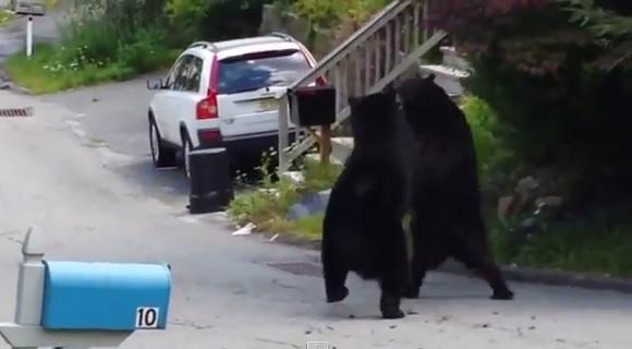 嘘っぽい言い訳「自宅前でクマがタイマン張ってて家から出られないので遅刻します」が通用しそう