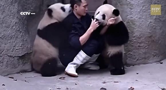 【キュン死動画】ある意味閲覧注意! 飼育員に遊んで欲しいパンダたちが反則的にかわいすぎると話題