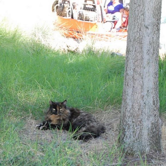 """猫も立派な """"キャスト"""" なのニャ! ディズニーランドに住み着いたニャンコたち / 推定200匹が """"勤務中"""""""