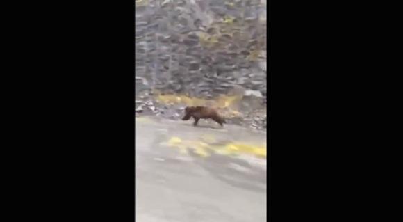 【衝撃動画】背中を見せて逃げたら絶対ダメ! クマの走るスピードがハンパなく速いことがわかる動画がコレだ!!