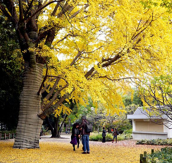 新宿御苑散策路の大イチョウが美しすぎる / 金色に輝く枝葉のカーテンと落ち葉のじゅうたんに思わず息を飲む