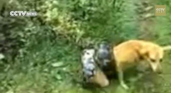 【奇跡の瞬間】ニシキヘビに絡み付かれて絶体絶命の犬が死の淵から舞い戻るまでの救出劇