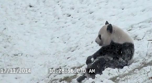 【癒し動画】雪と遊ぶ「ありのままのパンダ」が激撮される