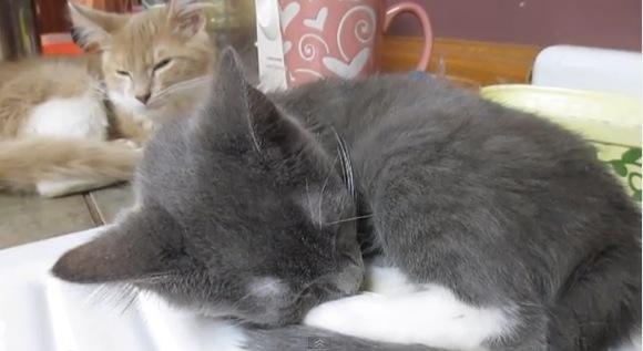 本当に君のイビキ? 「兄弟ネコのイビキがうるさすぎて眠れにゃい子ネコ動画」にチョットだけ疑心……
