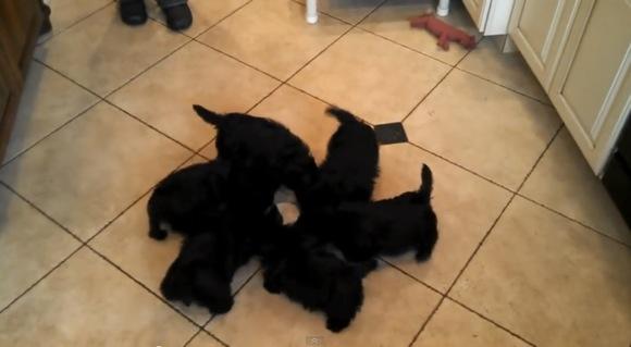 【ワンコ動画】なぜかグ〜ルグル回りながらミルクを飲む子犬たち / ネットでは「ギャー!かわえ~」とキュン死者続出