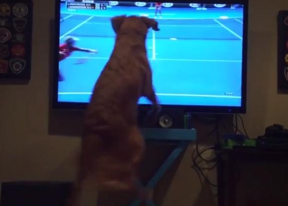 松岡修造氏が犬になったらこうなるっていう動画 / テニスに対してアツすぎる情熱を持つ犬