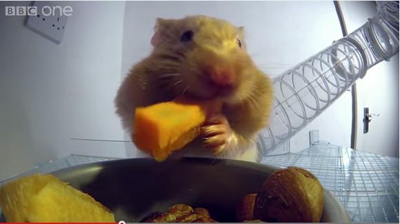 【衝撃映像】食べ物を頬袋に詰め込みまくったハムスターをレントゲンで撮ったらこうだった