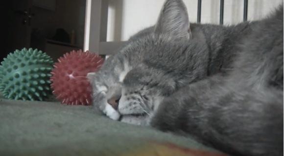 【寝言】何がそんなに気になるの〜? 飼い主が咳き込むとゴニョゴニョ言う眠りニャンコ動画
